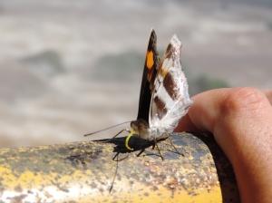 mariposas en iguazú lado brasileño