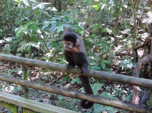 monos en iguazú lado argentino